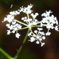 カノツメソウ属 晩夏~初秋 ごく小さな花