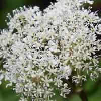 シシウド属 秋に小さな白い花