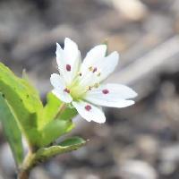 ワチガイソウ属 晩春に小さな白いな花