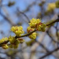 クロモジ属 早春 ごく小さな黄色い雄花
