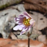 イチリンソウ属 早春に薄紫色の花