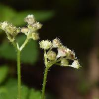 カテンソウ属 晩春に小さな目立たない黄緑色の雄花