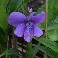 スミレ属 晩春~初夏 赤紫色の花