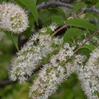 ウワミズザクラ亜属 晩春に白い花を房状