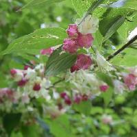 タニウツギ属 小枝は横に広がり葉脇から下向きに花をつける