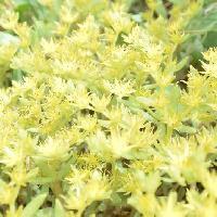 マンネングサ属 晩春に小さな黄色い花