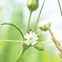 ナデシコ属 初夏に小さな白い花