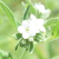 ムラサキ属 初夏に小さな白い花