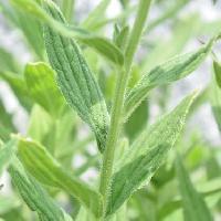 ムラサキ属 葉は狭楕円形で互生
