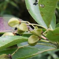 ニシキギ属 果実は4稜ある