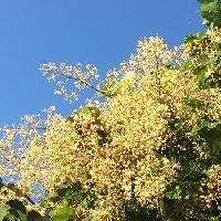 アオギリ属 初夏 房状のクリーム(白黄)色の花