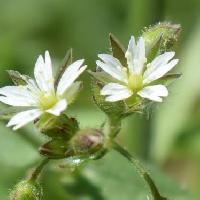 ミミナグサ属 春 小さな白い花
