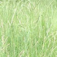 スズメノヒエ属 亜米利加雀の稗