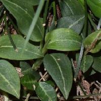 シュスラン属 葉の真ん中に白い筋が入る