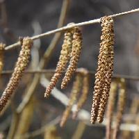 ハシバミ属 初春白褐色の雄花は穂状で垂れ下がる