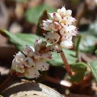 イブキトラノオ属 晩春に小さな白い花