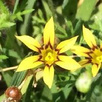 ニワゼキショウ属 初夏にごく小さな黄色い花