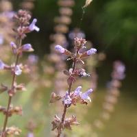 アキギリ属 晩春から初夏 極小さな紫色の花