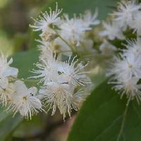 ハイノキ属 晩春に小さな白い花