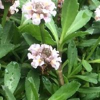 イワダレソウ属 春夏秋 小さな白い花