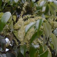 コナラ属 晩春白い穂状の花