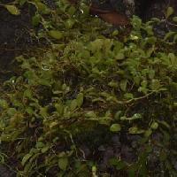 マメヅタラン属 豆蔦蘭
