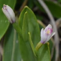 トキソウ属 初夏に小さなピンクの花