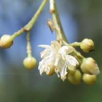 シナノキ属 晩春~初夏に小さな白い花