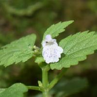 タツナミソウ属 晩夏に小さな白い花を塔状に付ける