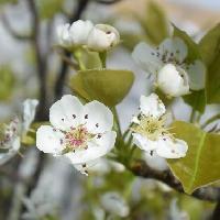 ナシ属 初春に白い花