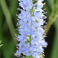 クワガタソウ属 小さな青い花を多数塔状