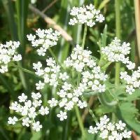 ミツバグサ属 晩夏から初秋にごく小さな白い花