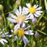 シオン属 晩夏から初秋に薄青い花