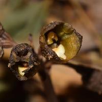 オニノヤガラ属 黒紫の花クリーム色の唇弁