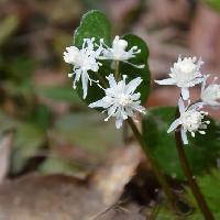 オウレン属 早春 白い雄花