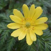 フクジュソウ属 晩冬~春に黄色い花