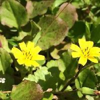 ヤブタビラコ属 春 黄