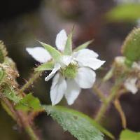 キイチゴ属 晩春~初夏 白い花