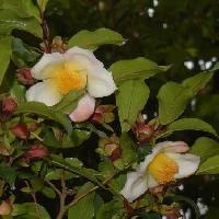 ナツツバキ属 初夏に白い花