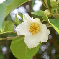 ナツツバキ属 晩春~初夏に小さな白い花