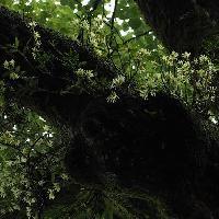 セッコク属 黄花石斛
