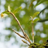 セッコク属 葉は楕円形で互生