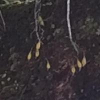 キバナノセッコク