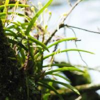 ヒスイラン属 葉は細長く互生