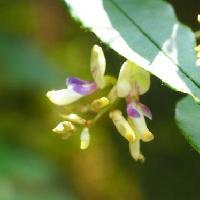 ハギ属 夏から初秋に小さな白紫色の花
