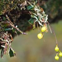 カヤラン属 茎の途中から新しい根が出る