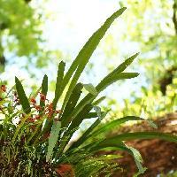 シュンラン属 細長い葉