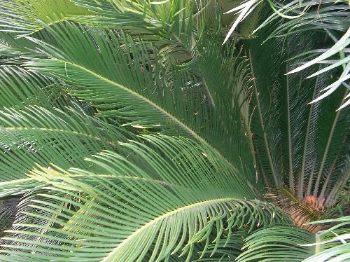 ソテツ ソテツの葉 羽状複葉 細長い小葉の先端は針状