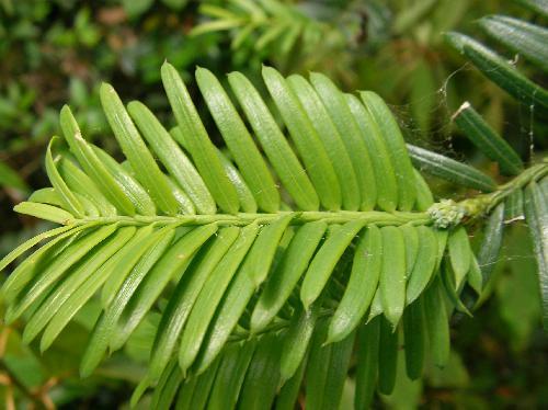 イヌガヤ 羽状複葉に見えるイヌガヤの細長い葉 あまり硬くない