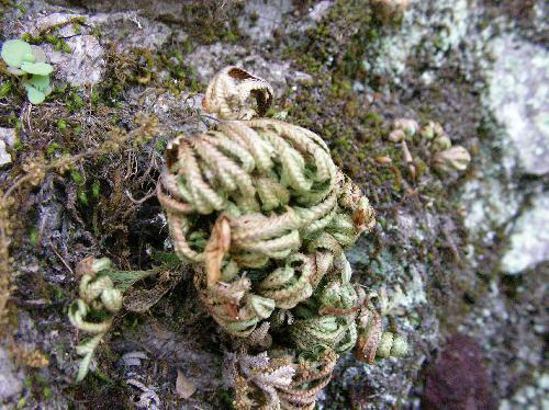 イワヒバ 乾燥すると葉は巻き込む
